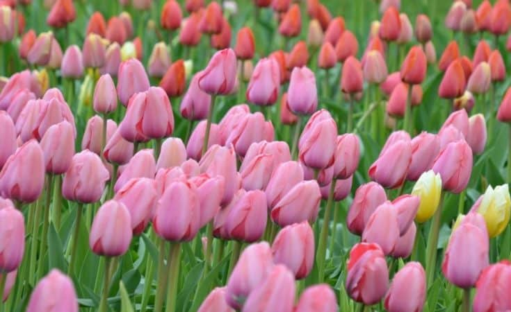 Field of Easter Tulips